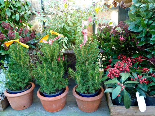 Mini living Christmas trees line up 3 in a row with sweet ribbon ties at Petersham Nurseries for Xmas 2011